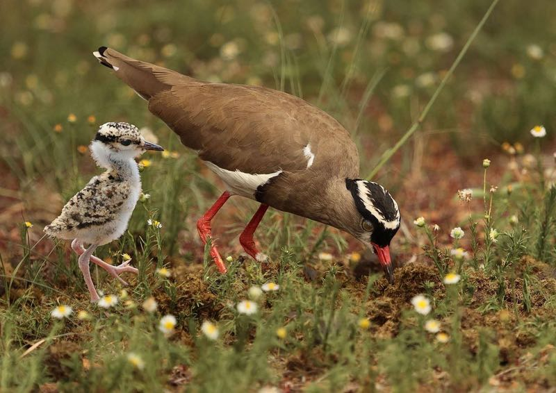 Crowned Lapwing with chick