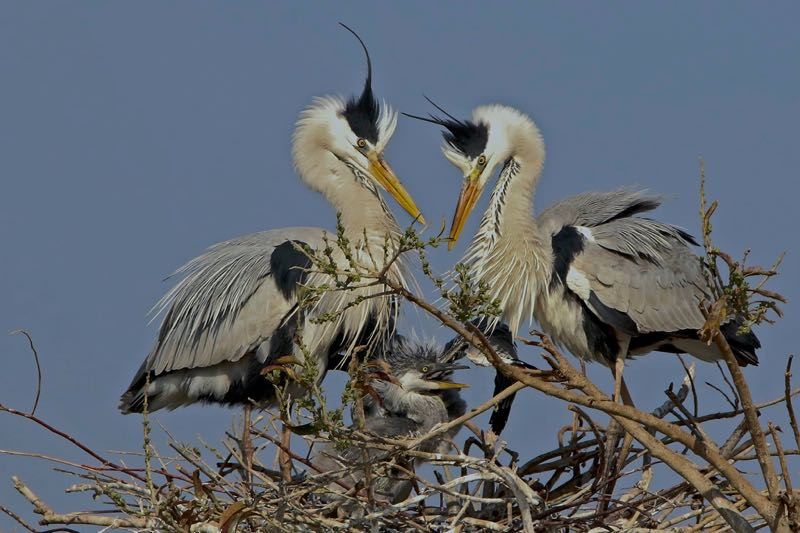 Proud Grey Heron parents