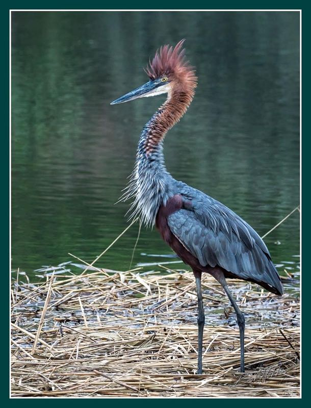 Goliath Heron having a bad hair day