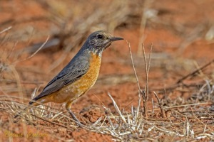 Short-toed Rock-Thrush female