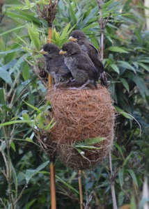 Thick-billed Weaver chicks