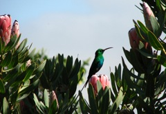 Malachite Sunbird on this Protea laurifolia