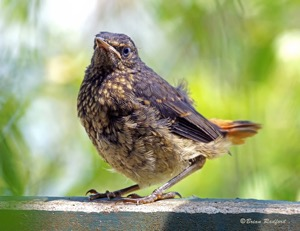 Baby Cape Robin-Chat