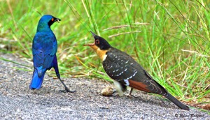 Cape Glossy Starling raising a Great Spotted Cuckoo
