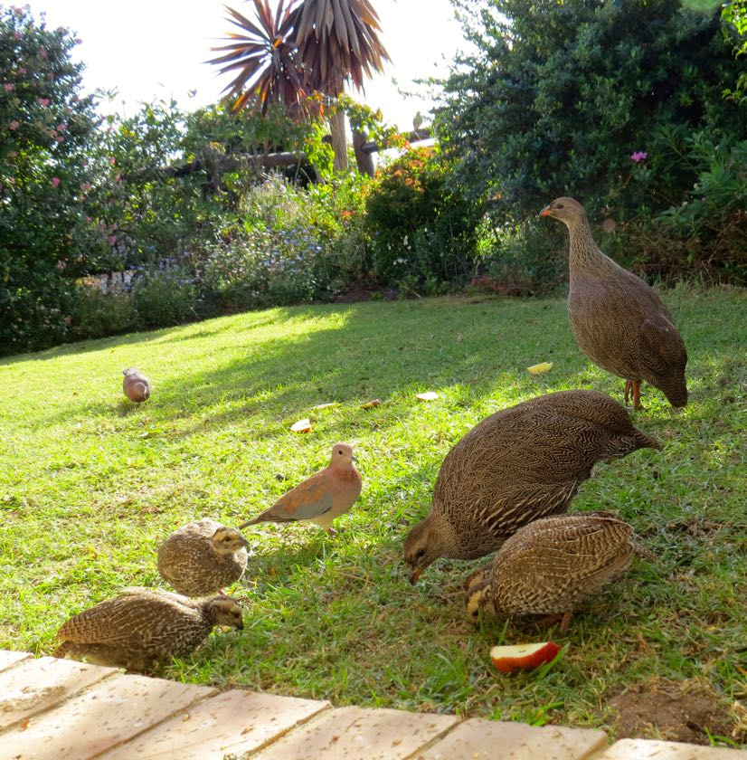 Cape Spurfowl in our garden