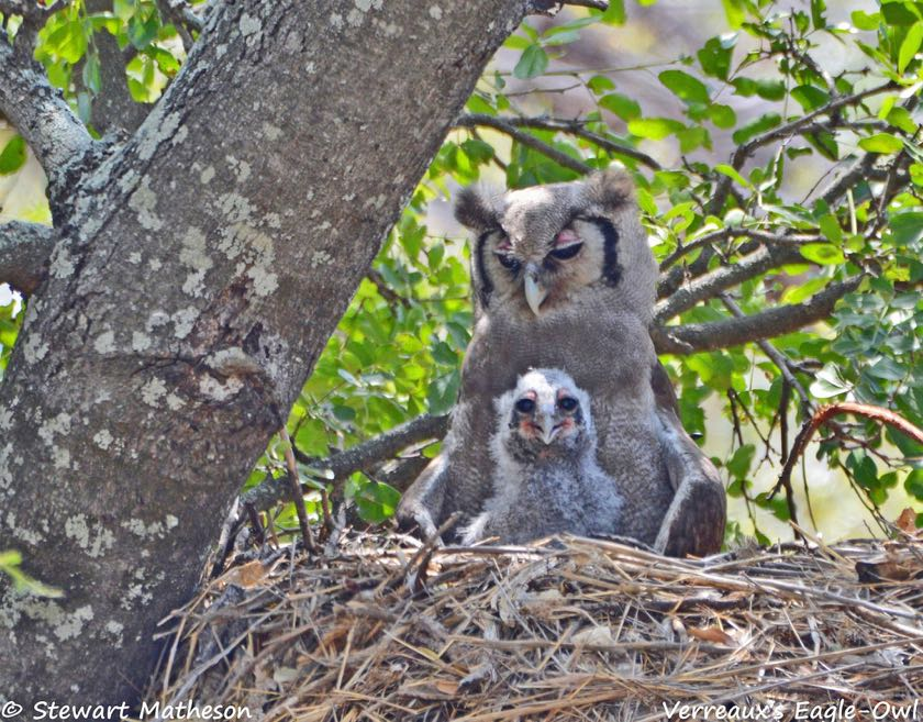 Verreaux's Eagle-Owl with chick