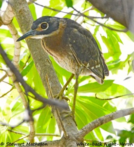 White-backed Night-Heron