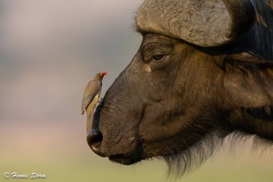 Beauty and the beast - Red-billed Oxpecker