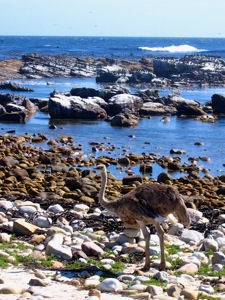 Common Ostrich collected pebbles at the Cape of Good Hope