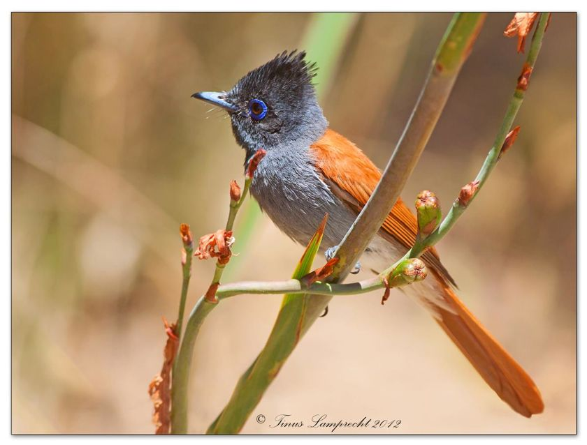 541 African Paradise-Flycatcher