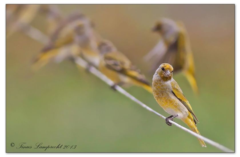 933 Cape Canary