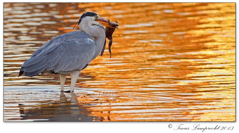 438 Grey Heron at sunset