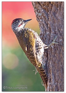 Knysna Woodpecker