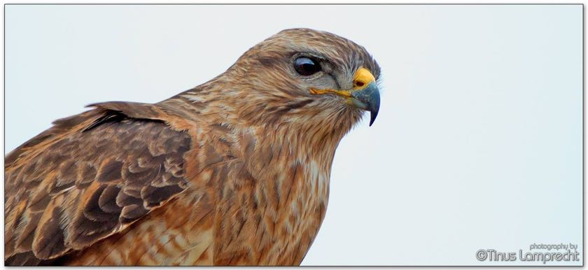 Common (Steppe) Buzzard