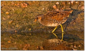 Spotted-Crake