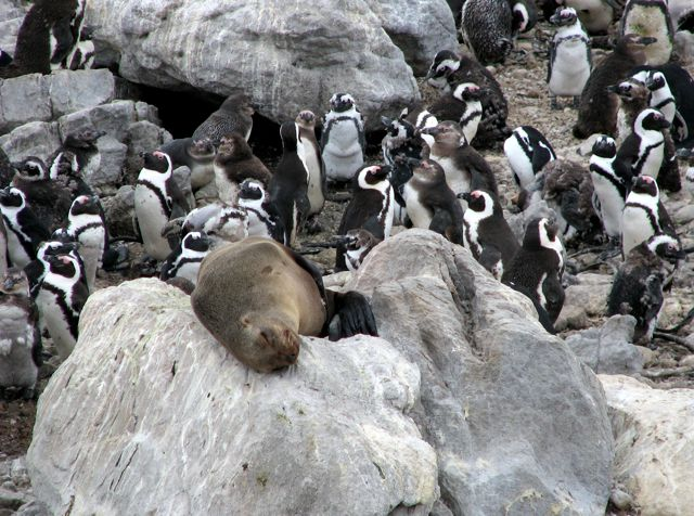 Cape Fur Seal, surrounded by prey