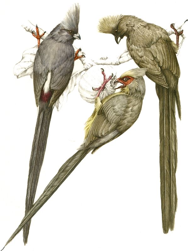 White-backed, Red-faced  and Speckled Mousebird
