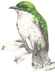 Klaas's Cuckoo-enlarge