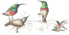 Double-collared Sunbirds